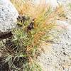 Desert Saltgrass (Distichlis spicata) POACEAE