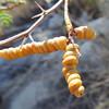 Screw Bean Mesquite (Prosopis pubescens) FABACEAE