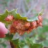 Gall on undside of oak leaf