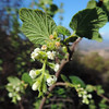 White-flowering Currant (Ribes indecorum)