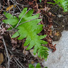 California Polypody (Polypodium californicum) POLYPODIACEAE