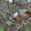 Scrub Oak Acorn