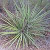 Mojave Yucca (Yucca schidigera)
