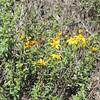 San Diego Sunflower (Bahiopsis laciniata)