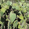 Coastal Pricklypear (Opuntia littoralis)