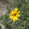 California Encelia (Encelia californica)
