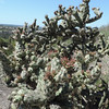 Cholla (Cylindropuntia sp.)