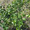 Honeysuckle (Lonicera subspicata)