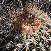 San Diego Barrel Cactus (Ferocactus viridescens)