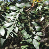 Brazilian Pepper Tree (Schinus terebinthifolius)