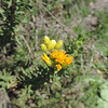 Goldenbush (Isocoma sp.)