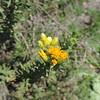 Goldenbush (Isocoma sp.)