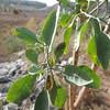 Tree Tobacco  (Nicotiana glauca)