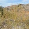 Willow (Salix sp.)