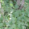 Dwarf Nettle (Urtica urens)