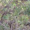 Brazilian Pepper Tree (Rhus terebinthifolius)
