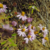 California Aster (Corethrogyne filaginifolia)