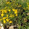 Matchweed (Gutierrezia microcephala)