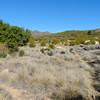 Deergrass (Muhlenbergia rigens)