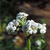 Bracted Popcornflower (Plagiobothrys bracteatus) BORAGINACEAE