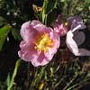 California Rose (Rosa californica)