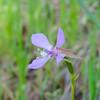 Diamond Clarkia (Clarkia rhomboidea) ONAGRACEAE