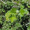 Sierra Gooseberry (Ribes roezlii) GROSSULARIACEAE