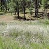 Deergrass (Muhlenbergia rigens) POACEAE