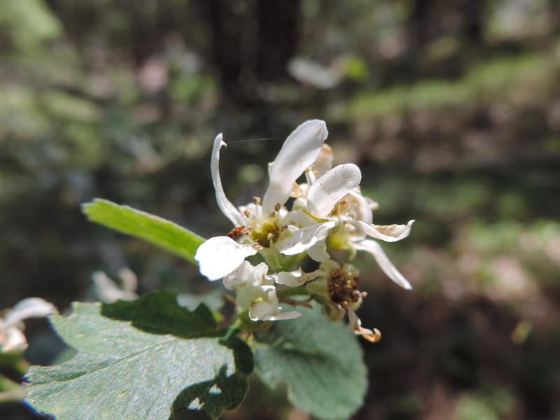 Utah Service-berry (Amelanchier utahensi) ROSACEAE