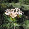 Grand Collomia (Collomia grandiflora) POLEMONIACEAE
