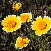 Tidy-tips (Layia platyglossa) ASTERACEAE