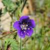 Parry's Phacelia (Phacelia parryi) BORAGINACEAE