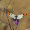 Sara Orangetip (Anthocharis sara) Lepidoptera: Pieridae