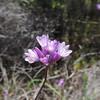Wild Hyacinth (Dichelostemma capitatum) LILIACEAE