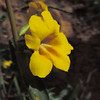 Wide-throated Yellow Monkeyflower (Mimulus brevipes)