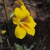 Wide-throated Monkeyflower (Diplacus brevipes) PHRYMACEAE