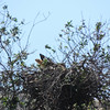 Hawk on Nest