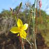 California Primrose (Eulobus californicus) ONAGRACEAE