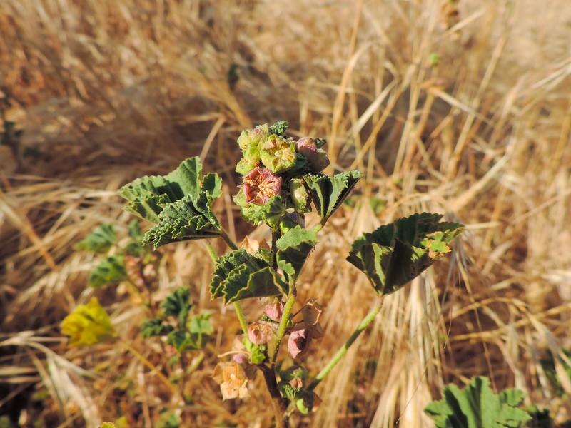 Cheeseweed (Malva parviflora) MALVACEAE