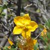 California Flannelbush (Fremontodendron californicum)  MALVACEAE