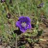 Parry's Phacelia (Phacelia parryi)