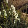 Chamise (Adenostoma fasciculatum) ROSACEAE