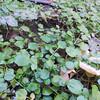 Water Cress (Nasturtium officinale) BRASSICACEAE