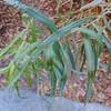 Narrow-leafed Willow (Salix exigua) SALICACEAE