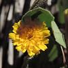 Crete Weed (Hedypnois cretica) ASTERACEAE