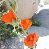Apricot Mallow (Sphaeralcea ambigua) MALVACEAE
