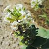 Spectacle Pod (Dithyrea californica) BRASSICACEAE