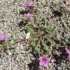 Desert Purple Mat (Nama demissum var. demissum) BORAGINACEAE