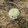 Fremont's Pincushion (Chaenactis fremonti)