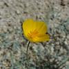 Desert Golden Poppy (Eschscholzia glyptosperma)